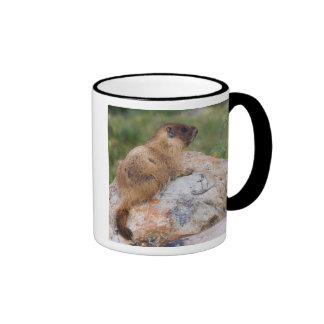 Yellow-bellied Marmot, Marmota flaviventris, Mugs