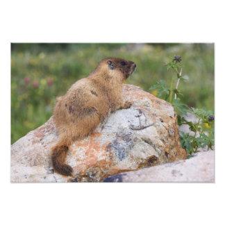 Yellow-bellied Marmot, Marmota flaviventris, Photo Print