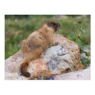 Yellow-bellied Marmot, Marmota flaviventris, Postcard