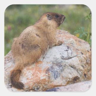 Yellow-bellied Marmot, Marmota flaviventris, Square Stickers