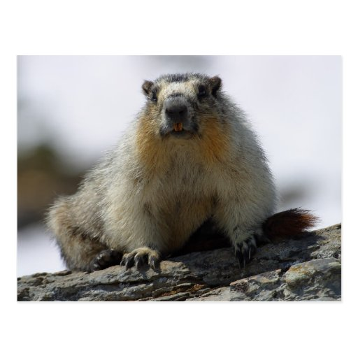Yellow Bellied Marmot Postcards
