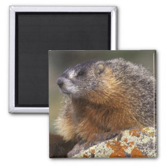 Yellow-bellied Marmot, Yellowstone NP, WY, USA 2 Inch Square Magnet