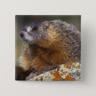 Yellow-bellied Marmot, Yellowstone NP, WY, USA Button