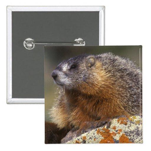Yellow-bellied Marmot, Yellowstone NP, WY, USA Pins
