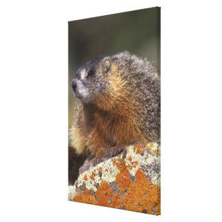 Yellow-bellied Marmot, Yellowstone NP, WY, USA Canvas Print