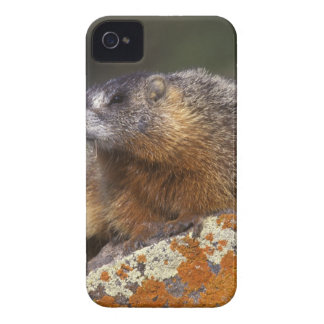 Yellow-bellied Marmot, Yellowstone NP, WY, USA Case-Mate iPhone 4 Case