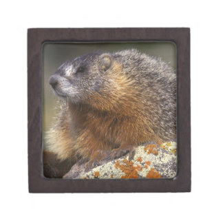 Yellow-bellied Marmot, Yellowstone NP, WY, USA Gift Box