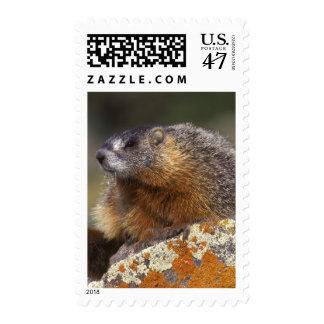 Yellow-bellied Marmot, Yellowstone NP, WY, USA Postage