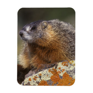 Yellow-bellied Marmot, Yellowstone NP, WY, USA Rectangular Photo Magnet