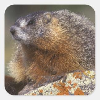 Yellow-bellied Marmot, Yellowstone NP, WY, USA Square Sticker