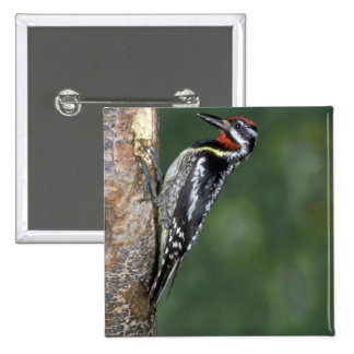 Yellow-bellied Sapsucker (male) Button