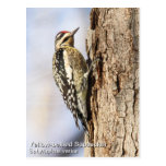 Yellow-bellied Sapsucker Post Cards