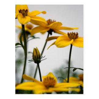 Yellow Bidens 1- Floral Photography Postcard