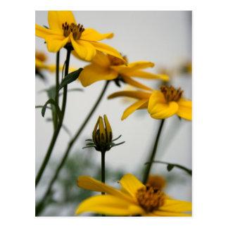 Yellow Bidens 2 - Floral Photography Postcard