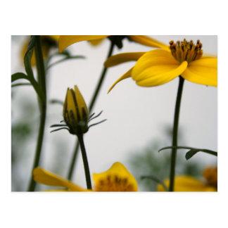 Yellow Bidens Floral Photography H Postcard