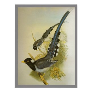 Yellow-billed Blue Magpie Poster