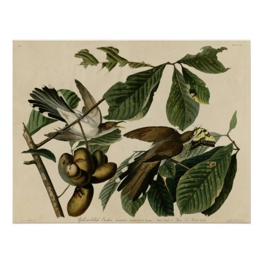 Yellow-Billed Cuckoo The Birds of America Audubon Poster