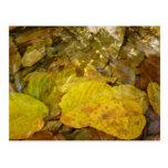 Yellow Birch Leaves in Stream Postcard