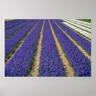 Yellow Blue hyacinths near Lisse, Holland flowers Poster