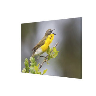 Yellow-breasted Chat (Icteria virens) singing on Canvas Print