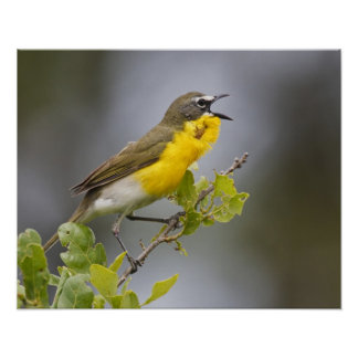 Yellow-breasted Chat (Icteria virens) singing on Poster