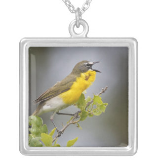 Yellow-breasted Chat (Icteria virens) singing on Silver Plated Necklace