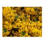 Yellow Broom Post Card