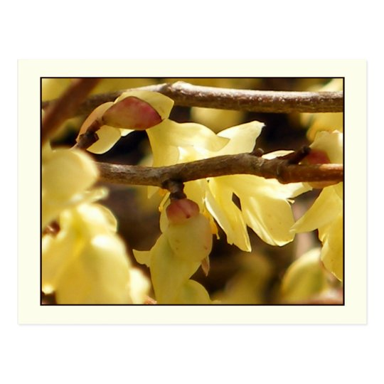Yellow Bud Postcard