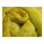 Yellow Burmese Python Postcard