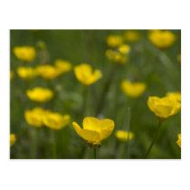 Yellow Buttercup Flowers Postcard