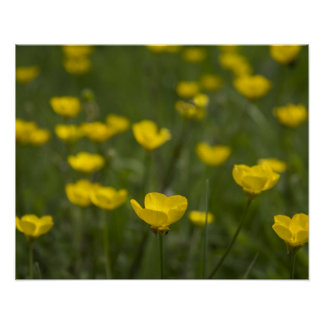 Yellow Buttercup Flowers Poster