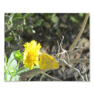 Yellow Butterfly Feeding on Yellow Flower Art Photo