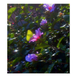 Yellow Butterfly on Pink Rose of Sharon Poster