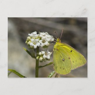 Yellow Butterfly Post Cards