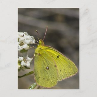 Yellow Butterfly Postcard