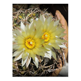 Yellow Cactus Blooms Postcard