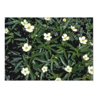 Yellow Canadian Anemone (Anemone Canadensis) Announcements