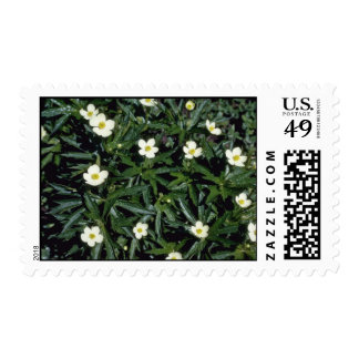 Yellow Canadian Anemone (Anemone Canadensis) Postage Stamps