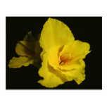 Yellow Cannas Canna Lilies Flower Photo Post Card
