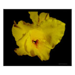 Yellow Cannas Canna Lilies Flower Photo Poster