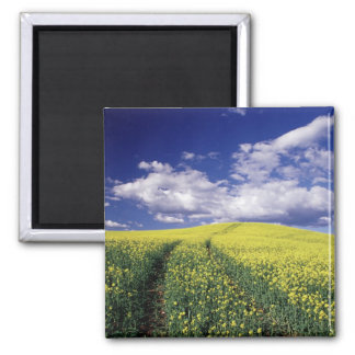 Yellow canola in Whitman County Washington state 2 Inch Square Magnet