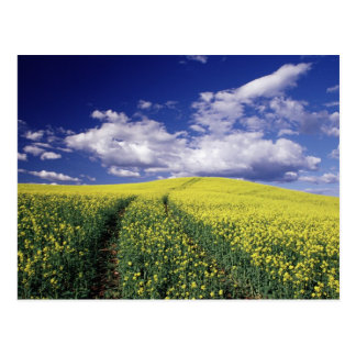Yellow canola in Whitman County Washington state Postcard