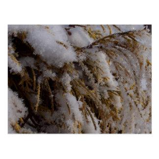 Yellow cedar with hoarfrost postcard
