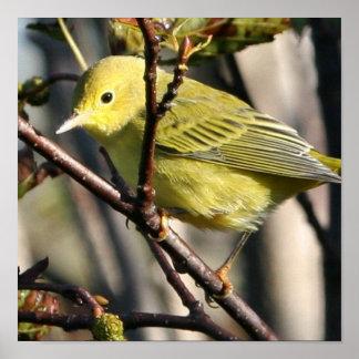 Yellow Chickadee Poster