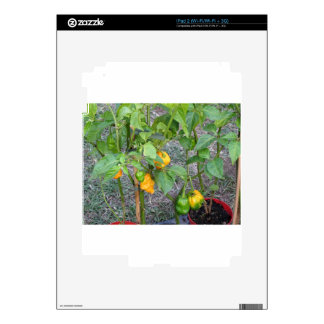 Yellow chili peppers decals for iPad 2