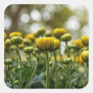 Yellow Chrysanthemum Flower Buds Square Stickers