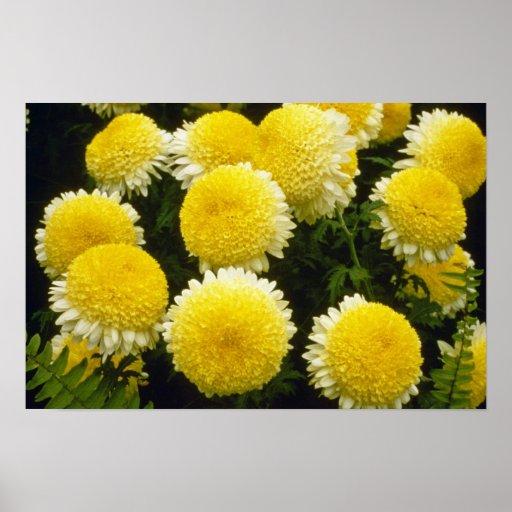 yellow Chrysanthemum 'Powder Puff' (Florist Chrysa Print