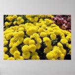 yellow Chrysanthemums flowers Poster