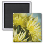 yellow chrysanthemums magnets