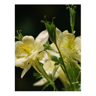 Yellow columbine flowers postcard